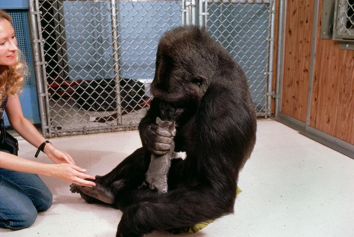 Sur cette photo, Koko saisit avec soin et renifle le chaton All Ball. Ce cadre montre ...