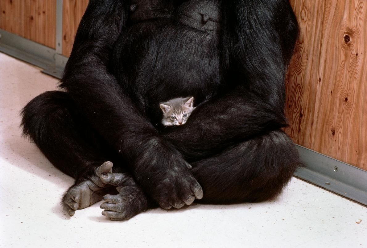Koko tient avec douceur le chaton dans ses bras comme elle l'aurait fait avec un bébé ...