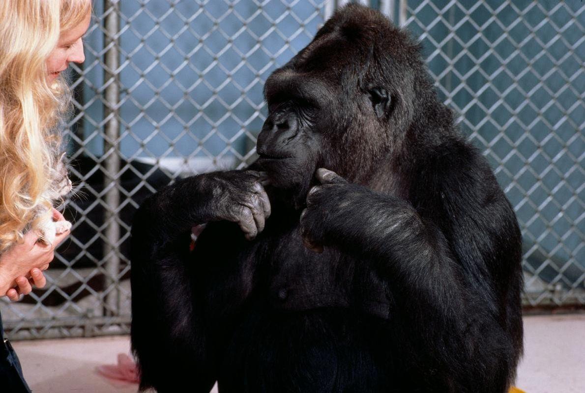 Francine Patterson et Koko conversent grâce à la langue des signes américaine. Koko utilisait plus de ...