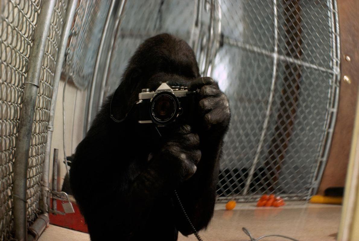 Koko prend un autoportrait. Cette image a été choisie pour faire la une du numéro du ...