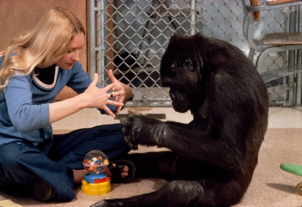 """Koko signe le mot """"machine"""" en langue des signes avec la chercheuse Francine Patterson."""