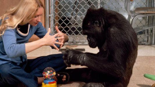 Koko le gorille et National Geographic, une longue histoire d'amour