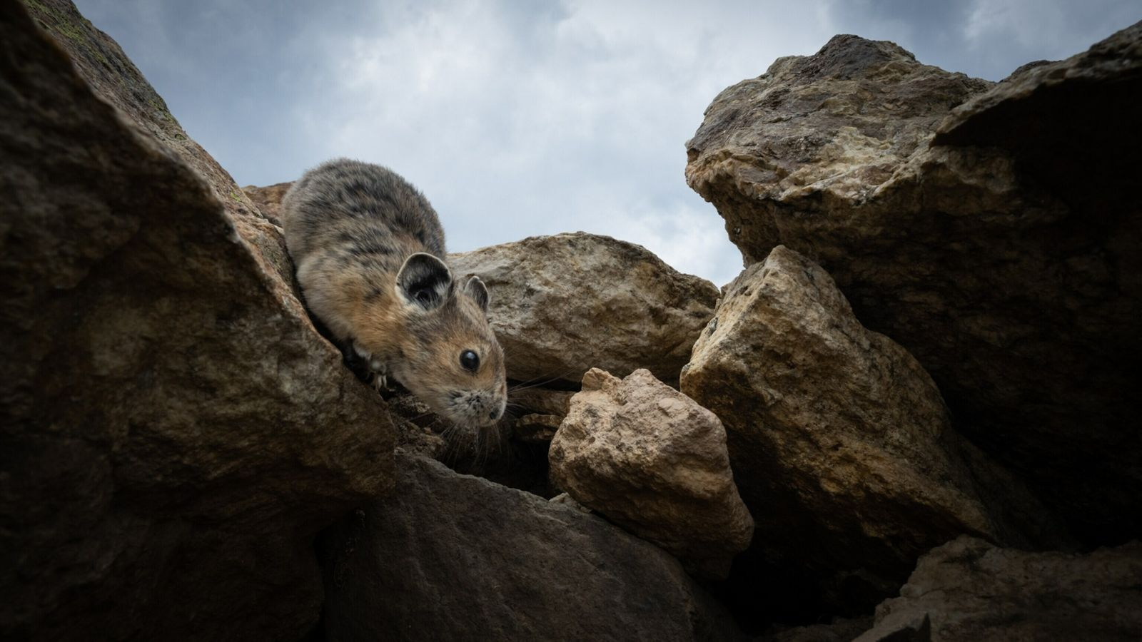 Dans le parc national des montagnes Rocheuses du Colorado, aux États-Unis, un pika se réfugie dans ...
