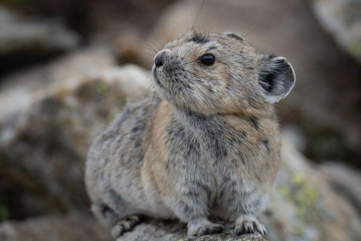 Les pikas d'Amérique vivent principalement en haute montagne, jusqu'à 4 300 mètres d'altitude. Parfaitement adaptés à leur environnement, ...