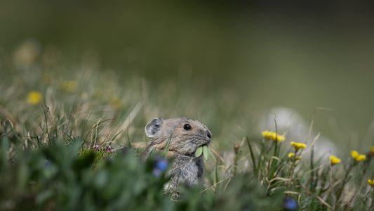Aux États-Unis, l'adorable pika est la première espèce à subir les conséquences du changement climatique