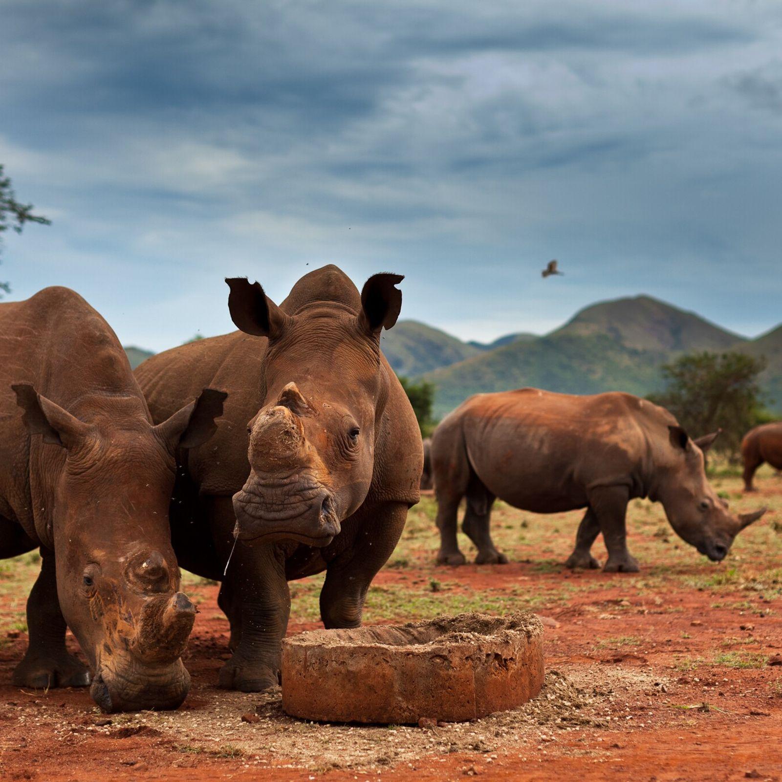 Pour réduire le risque que les animaux soient tués par des braconniers, la corne de nombreux ...