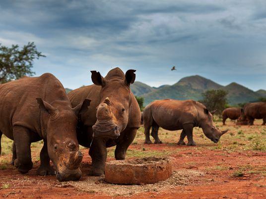 En 10 ans, la plus grande population de rhinocéros a décliné de 70 %