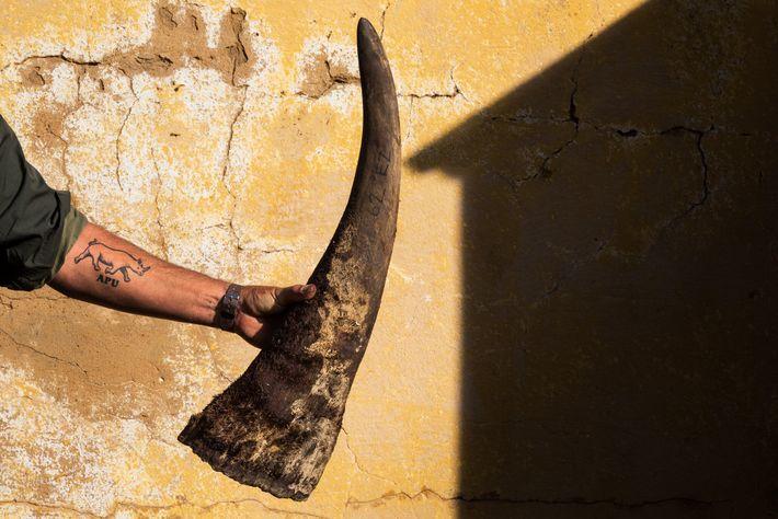 Pour protéger les tissus, la corne est coupée 10 cm au-dessus de sa base. Les cornes de ...