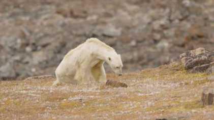 L'agonie d'un ours polaire devient le symbole du changement climatique
