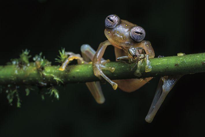 La grenouille de verre Nymphargus manduriacu, une espèce rare à points jaunes, est une chasseuse opportuniste. Elle sait ...