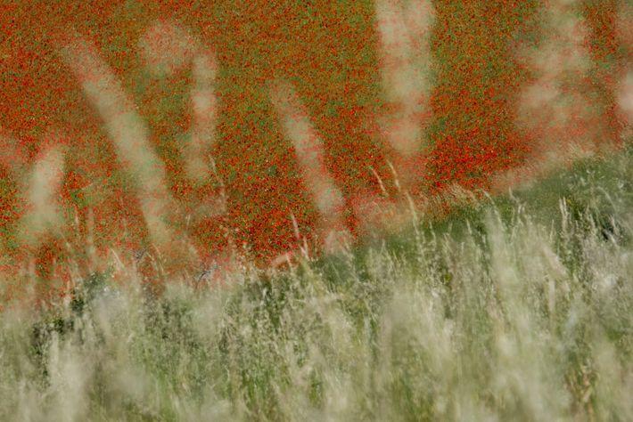 red flowers in field