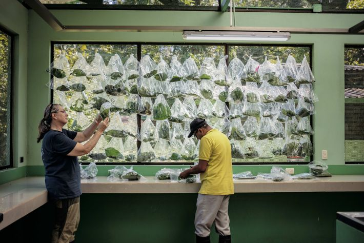 À La Selva, une station de recherche du Costa Rica, des sacs de feuilles abritent des ...