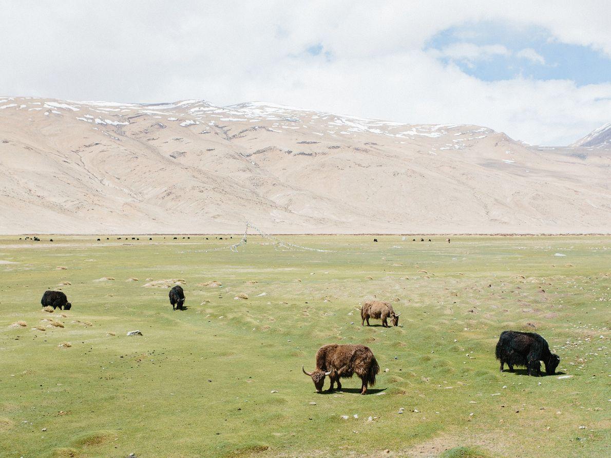 Un troupeau de yaks domestiques à poils longs broute sous les cimes majestueuses.