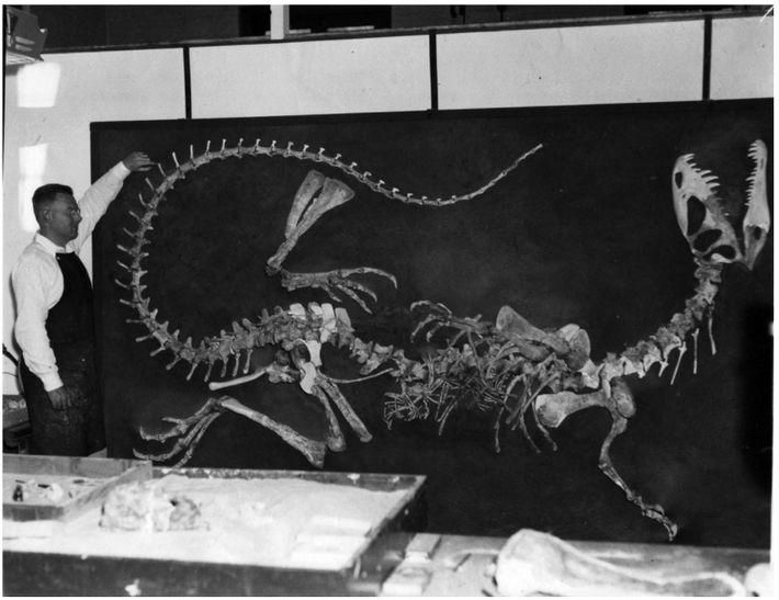 Wann Langston, Jr., à l'université de Californie, Berkeley, supervise la reconstruction du premier squelette deDilophosaurusau début ...