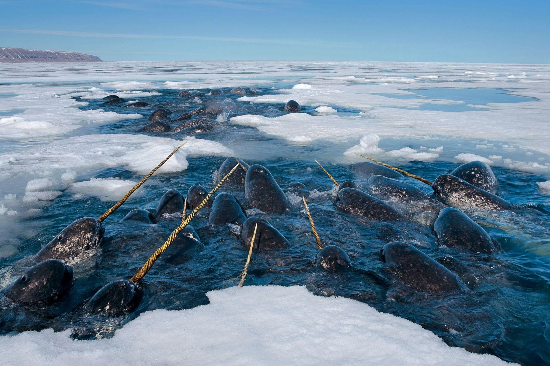 Des narvals évoluent dans le détroit de Lancaster. Ils hivernent dans les eaux glacées, se nourrissant ...