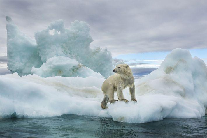 Trempé, un ours blanc grimpe sur un bloc de glace dans la baie d'Hudson. Les ours ...