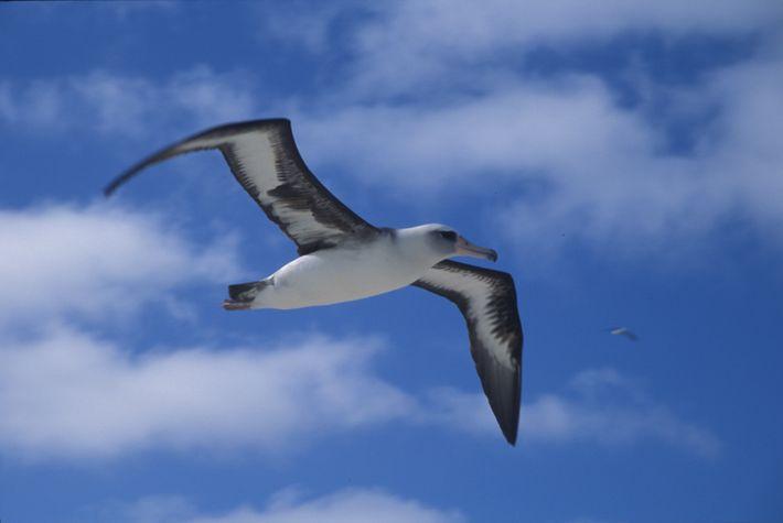 Albatros de Laysan - Phoebastria immutabilis.
