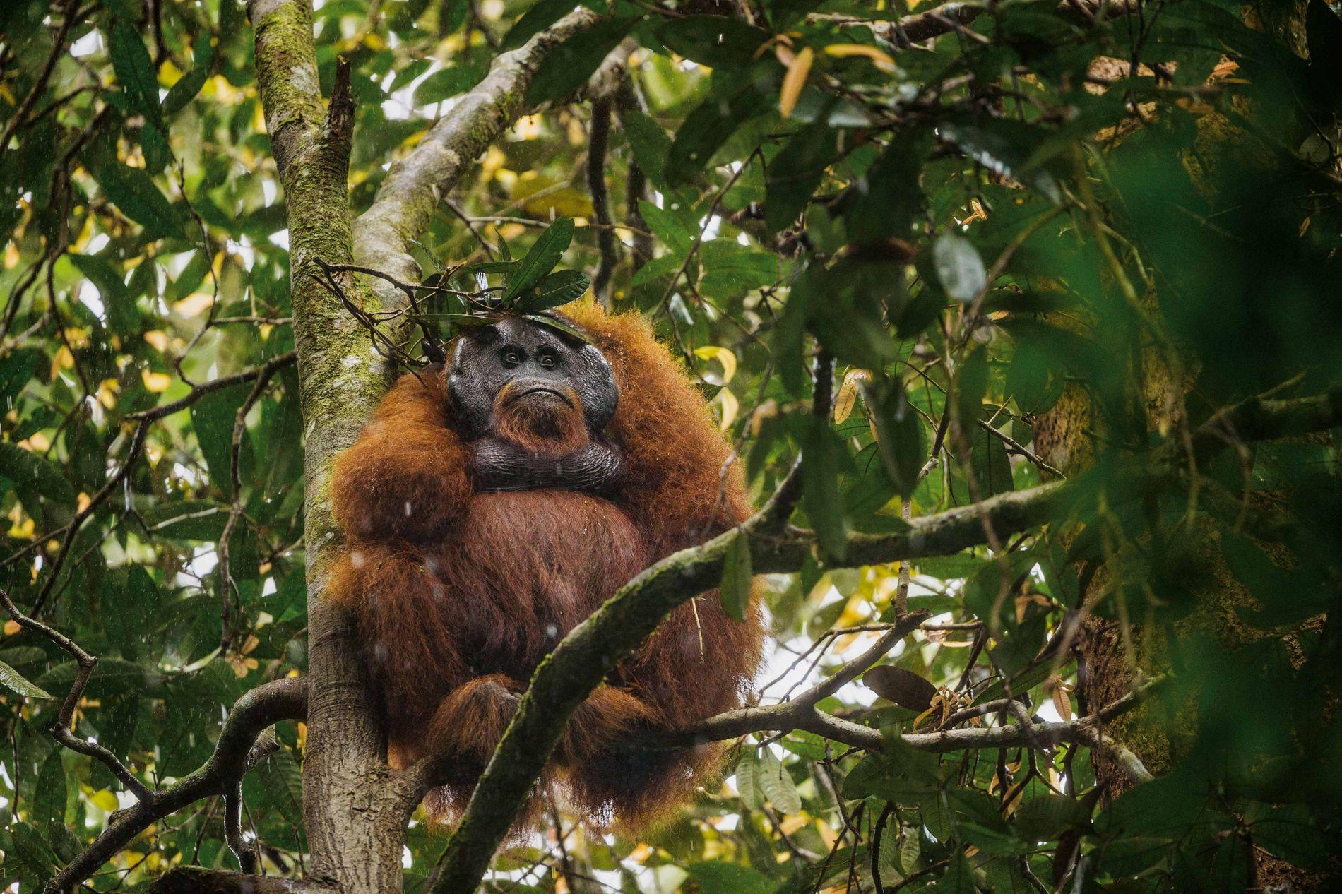Un orang-outan de Bornéo mâle s'est fait un parapluie d'une branche feuillue. Ce comportement appris est ...