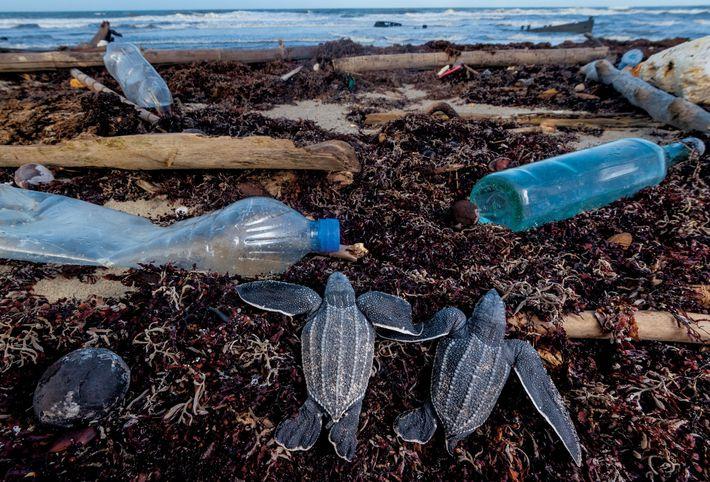 Les tortues luths juvéniles trouvent sur leur chemin des bouteilles en plastique et d'autres débris alors qu'ils ...