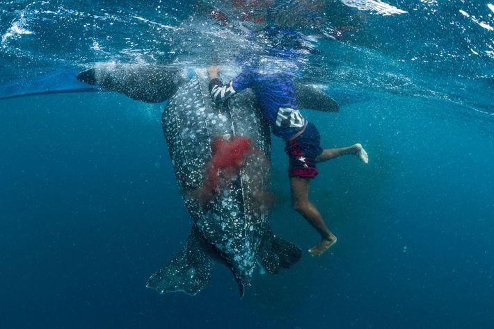 Le sang d'une tortue luth mourante coule... Elle a été harponnée par un pêcheur indigène près ...