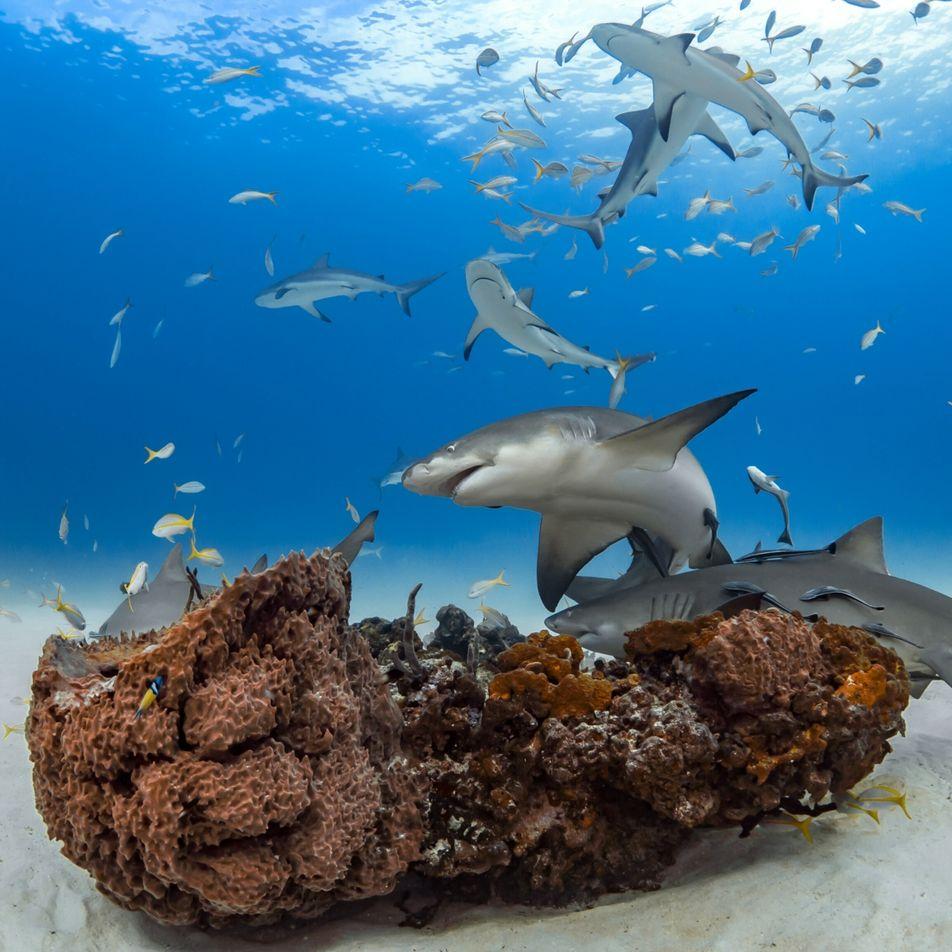 Loin d'être solitaires, les requins entretiennent des amitiés pendant des années