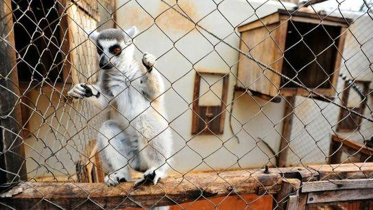 À Madagascar, il est illégal de détenir un lémurien en tant qu'animal de compagnie depuis 1962. ...