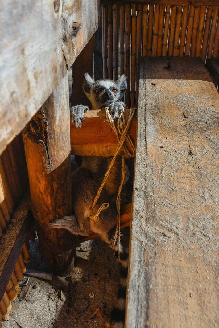 Souvent, les lémuriens de compagnie vivent dans des enclos exigus et souffrent de malnutrition. Bien que ...