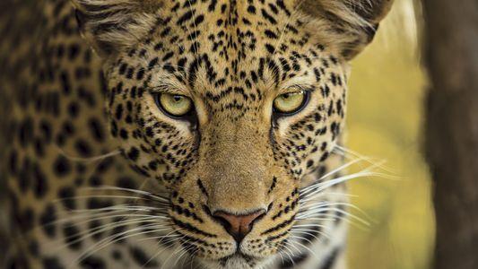 Le léopard africain, carnivore le plus efficace du continent
