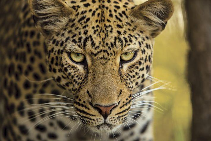 L'embuscade ratée d'un léopard