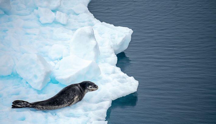 Le léopard des mers, redoutable prédateur, consomme aussi bien d'autres phoques et des manchots que du ...