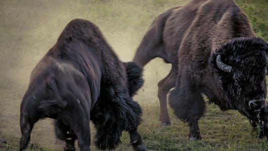 Deux bisons mâles se disputent la suprématie d'un troupeau