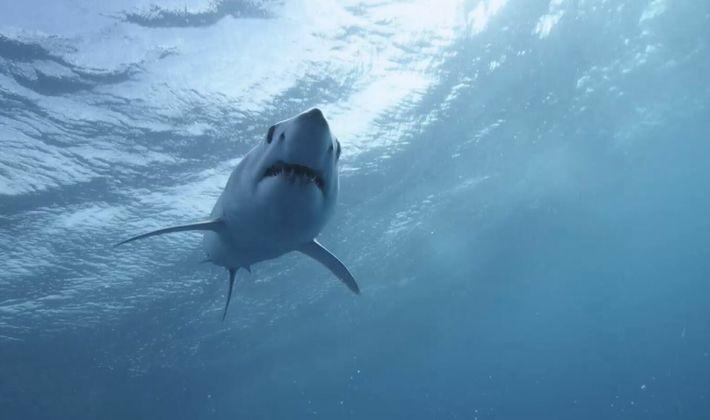 Les Carcharhinidae, requins mangeurs d'Hommes