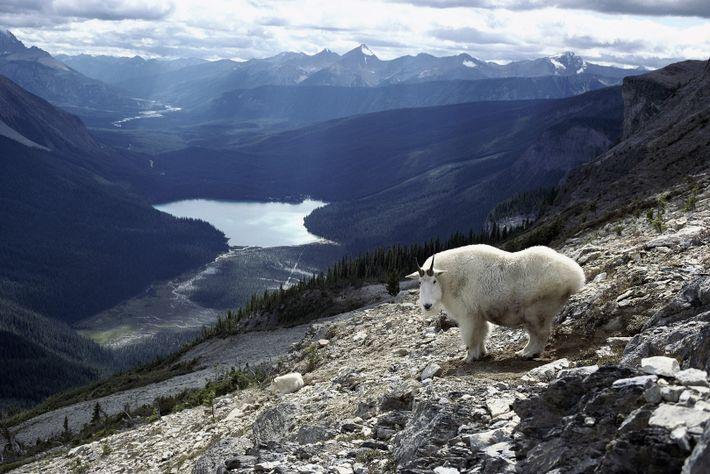 Abritant des ours, des pumas, des élans et des mouflons canadiens, le Parc national Yoho, en ...