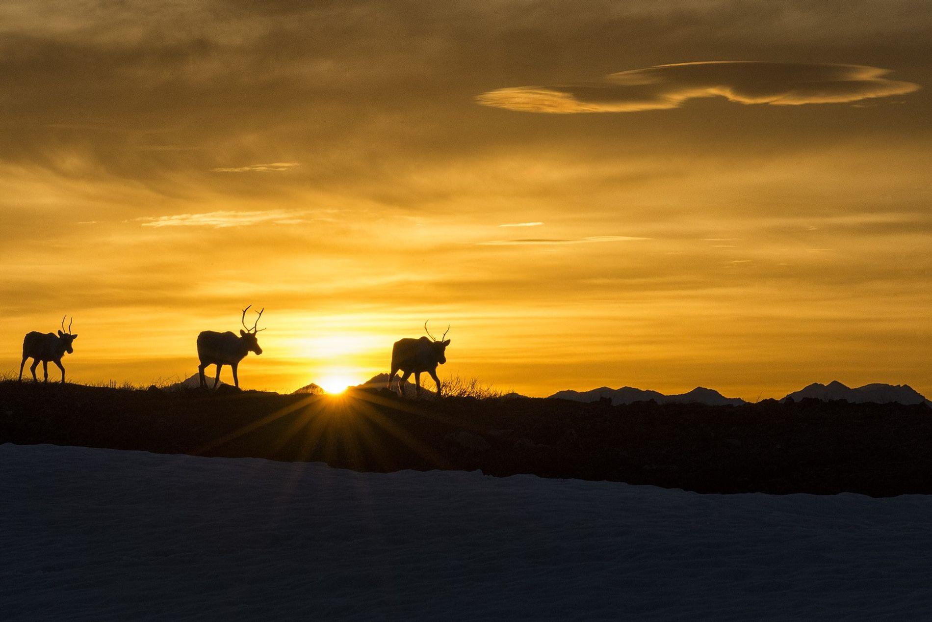 Caribous, grizzlis, renards roux et renards polaires vivent dans le parc national d'Ivvavik, au Yukon. Au programme de cette expérience absolument unique : campement sous le soleil de minuit avec pour hôtes des Inuvialuits locaux.
