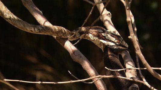 L'ingénieux camouflage du serpent liane