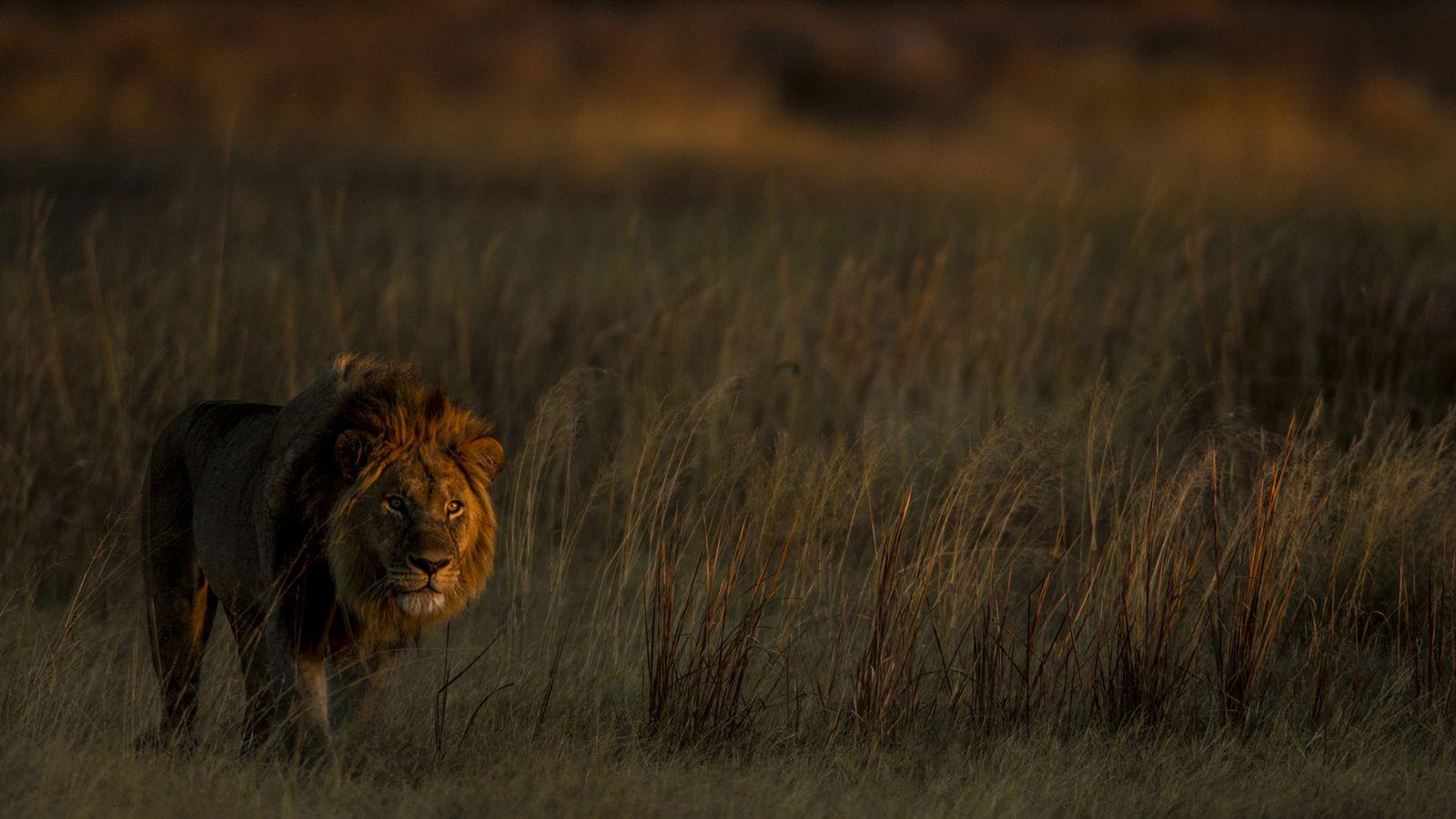 Il ne restait plus que deux lions dans la réserve de Selinda lorsque la chasse n'a ...
