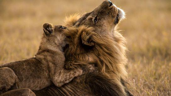 Ce lion a rapidement noué des liens avec ce lionceau, ce qui est assez inhabituel. Dereck ...