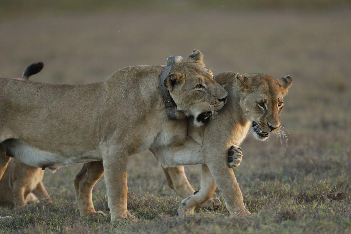 Une lionne adulte joue avec l'un de ses quatre petits. La population de lions au sein ...