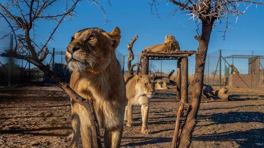 En Afrique du Sud, des lions maintenus captifs vivent dans des conditions déplorables