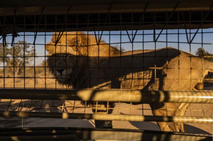 Au Lion & Safari Park, dans la province du Nord-Ouest, les touristes sont amenés à s'approcher ...