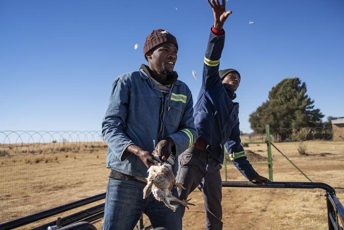 Des poulets morts sont donnés aux lions six jours par semaine, sauf le dimanche, jour de ...