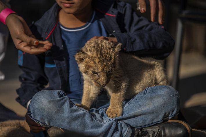 Au Akwaaba Predator Park, situé à Rustenburg, dans la province du Nord-Ouest, ainsi qu'au sein d'autres ...