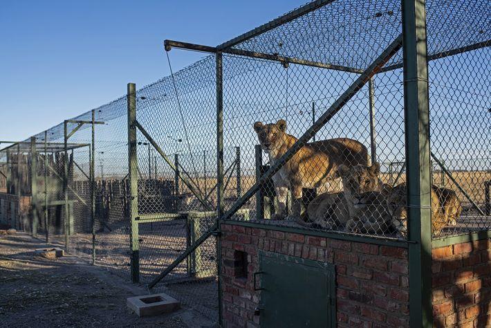 Sur l'exploitation de Pienika, des dizaines d'espèces — des lions, mais aussi des tigres du Bengale, ...
