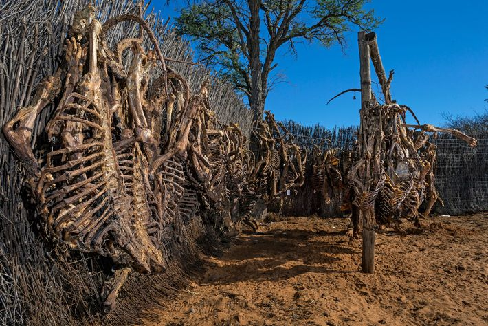 Des carcasses de lions sèchent avant d'être exportées. Malgré le quota annuel d'exportations d'os de lions, ...
