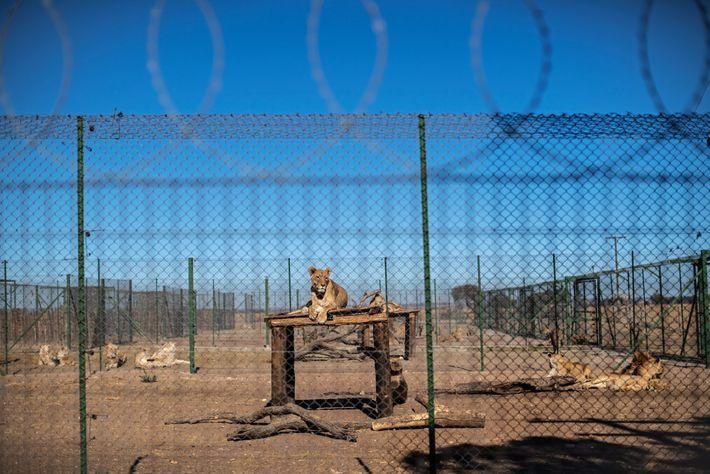 Conformément aux normes établies par la South African Predator Association, dont Jan Steinman, le propriétaire de ...
