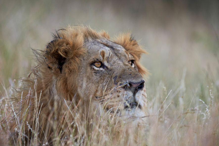 La façon la plus éthique d'observer les grands félins, c'est de participer à un safari pour ...