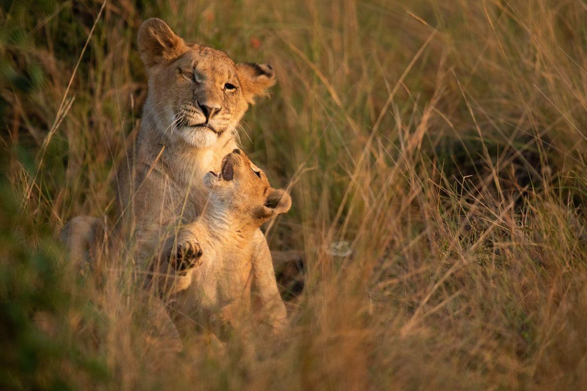 De jeunes lions se chamaillent au cœur de la réserve nationale du Masai Mara, une savane ...