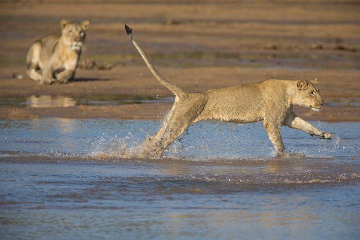 Des lions traversent les eaux peu profondes de la rivière Kapamba.