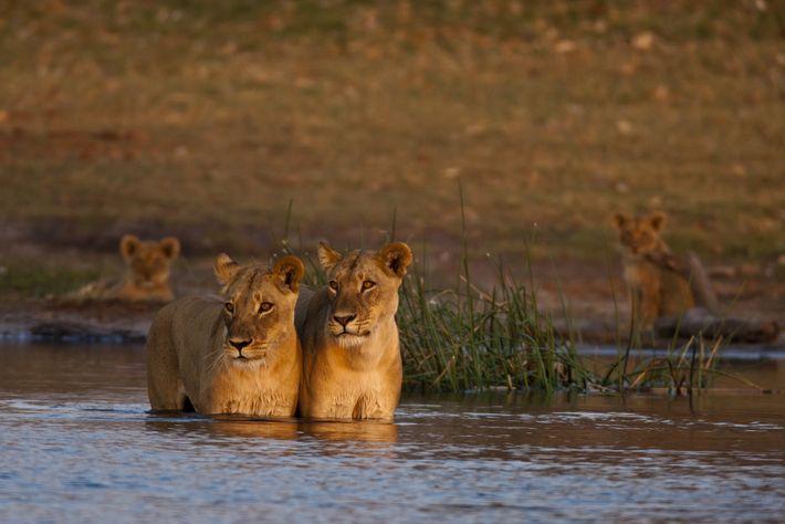 Deux lionnes de la réserve de Selinda surveillent l'eau, à l'affût du moindre danger au cours ...