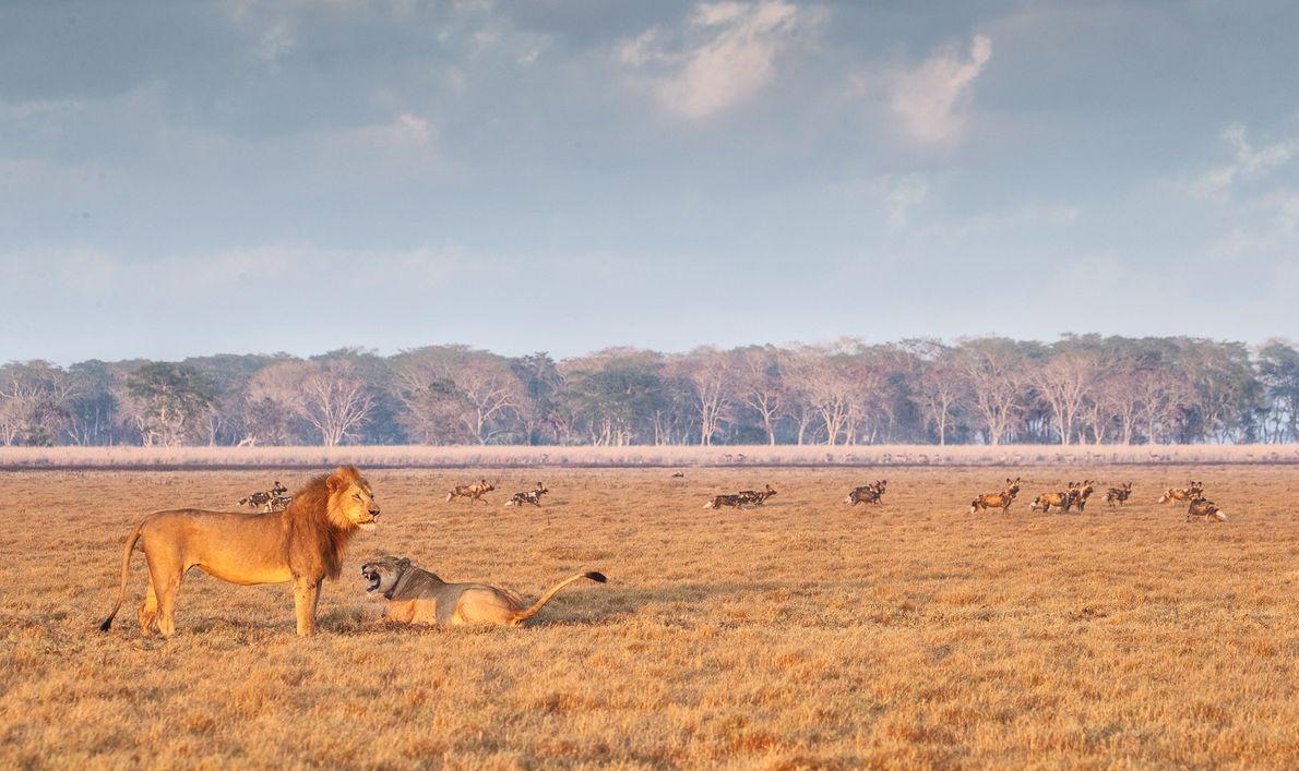 Il est désormais possible d'observer des lions et des lycaons, aussi connus sous le nom de ...